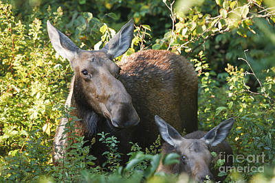 Moose - White Mountains New Hampshire  Art Print