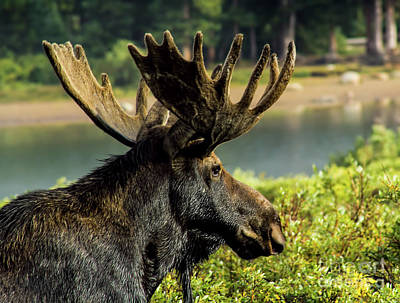 Photograph - Moose Adventure by Steven Parker