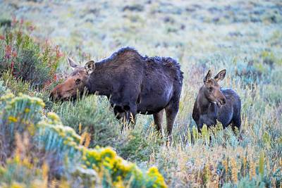 Photograph - Moose And Calf In Grand Teton National Park by Marilyn Burton