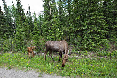 Photograph - Moose And Her Twins by David Arment
