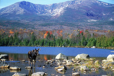 Moose And Mount Katahdin Art Print by John Burk