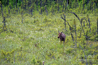 Photograph - Moose And White Flowers by David Arment