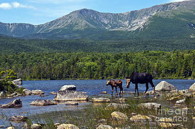Moose Baxter State Park Maine 2 Art Print by Glenn Gordon