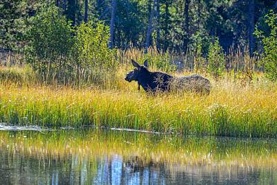 Photograph - Moose By A Pond, Grand Teton National Park by Marilyn Burton