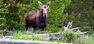 Photograph - Moose By The River by Scott Mahon