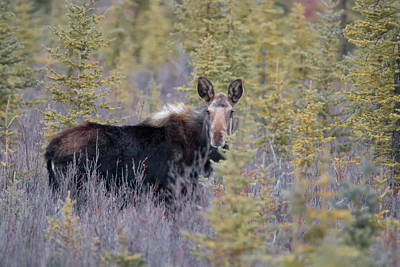 Photograph - Moose Calf by Celine Pollard