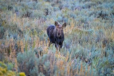Photograph - Moose Calf In Grand Teton National Park by Marilyn Burton