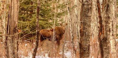 Photograph - Moose Calf by Jim Sauchyn
