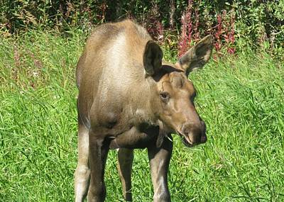 Photograph - Moose Calf by Lucinda VanVleck