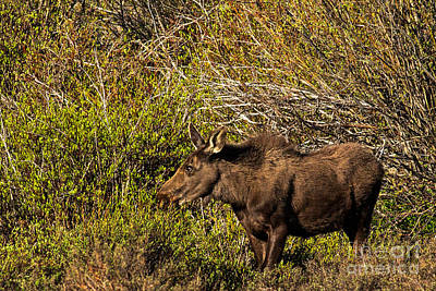 Moose Photograph - Moose Coming Out Of The Willows by Natural Focal Point Photography