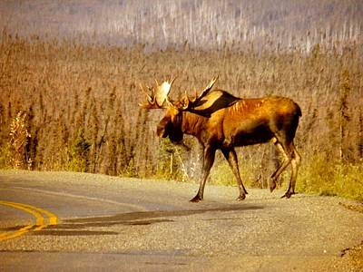 Moose Crossing Art Print by Adam Owen