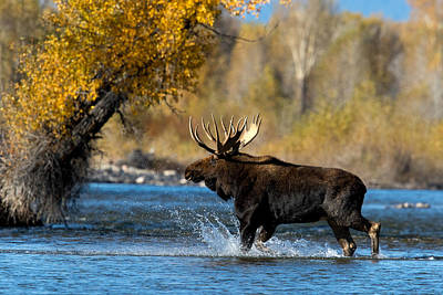 Photograph - Moose Crossing by Shari Sommerfeld