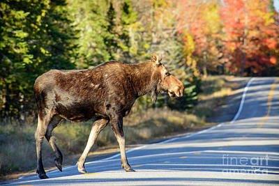 Maine Landscapes Photograph - Moose Crossing The Road by Alana Ranney