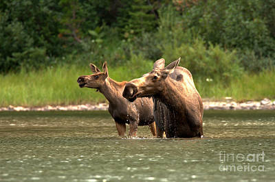 Moose In Water Photograph - Moose Doubletake by Adam Jewell