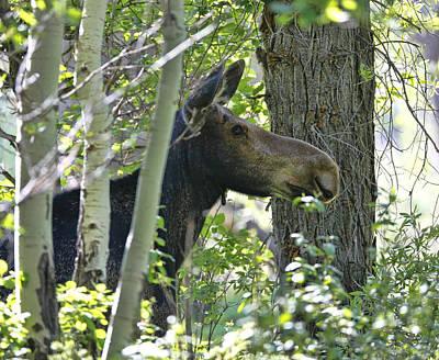 Moose Emerging From Aspen Trees Art Print