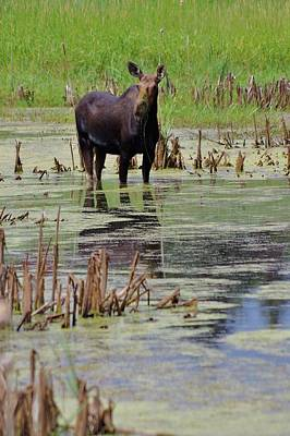 Photograph - Moose Enjoying Dinner by Matt Helm