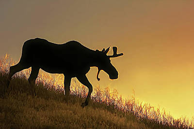 Photograph - Moose Evening Wander by Jennie Marie Schell