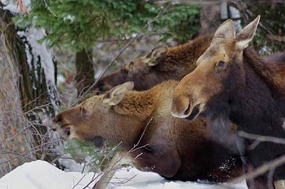 Photograph - Moose Family Lunch by Matt Helm