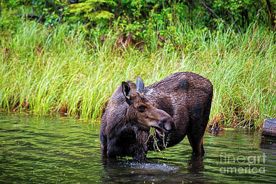 Photograph - Moose Feeding by David Arment
