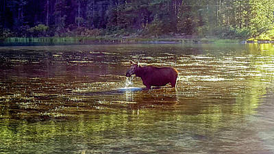 Photograph - Moose In Glacier National Park, Swiftcurrent Lake by Marilyn Burton