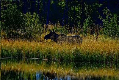Photograph - Moose In Grand Teton National Park by Marilyn Burton