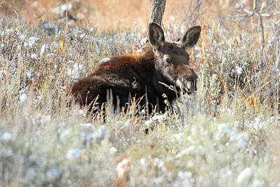 Photograph - Moose In Grand Teton National Park by Pierre Leclerc Photography
