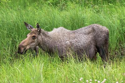 Moose In Tall Grass Art Print