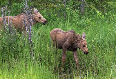 Moose In The Field Art Print
