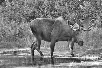 Photograph - Moose In The Marsh Black And White by Adam Jewell