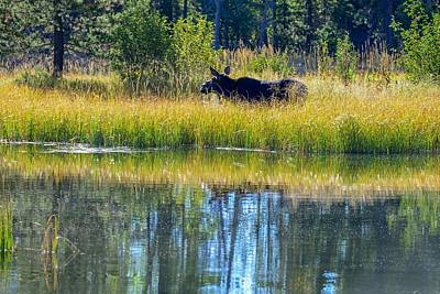 Photograph - Moose In The Reeds, Grand Teton National Park by Marilyn Burton