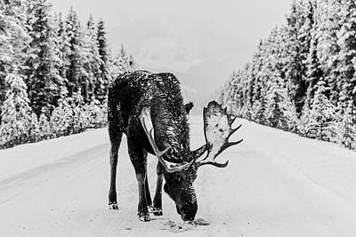 Photograph - Moose In The Road by Unsplash