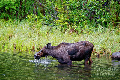 Photograph - Moose In The Water by David Arment
