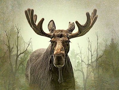 Photograph - Moose In The Woodland Forest by Jennie Marie Schell