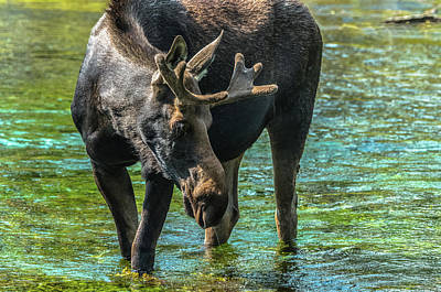 Photograph - Moose In Velvet At Big Springs by Yeates Photography