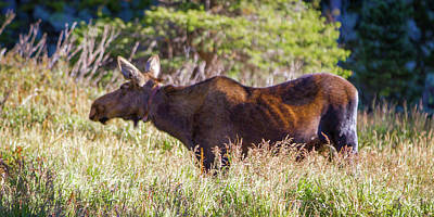 Photograph - Moose In Waiting by Dawn Romine