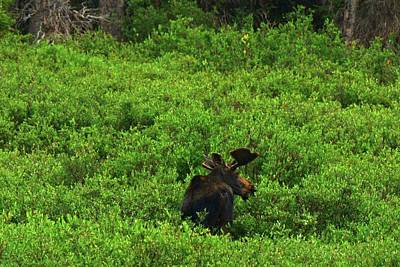 Photograph - Moose In Wyoming by Vonda Barnett