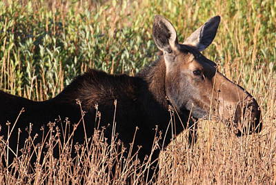 Photograph - Moose by Kimberly Oegerle