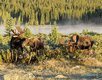 Photograph - Moose Kiss by Steven Parker