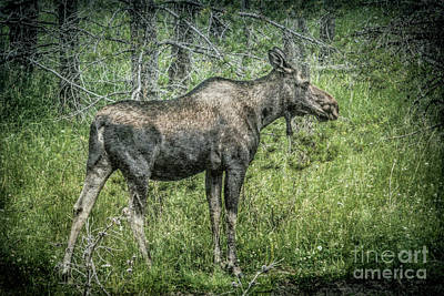 Photograph - Moose by Lynn Sprowl