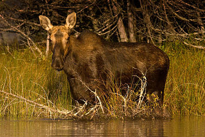 Moose Of Prong Pond Art Print