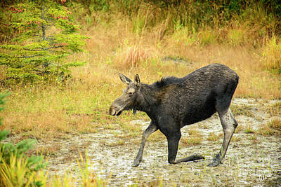 Photograph - Moose On A Knee by Alana Ranney