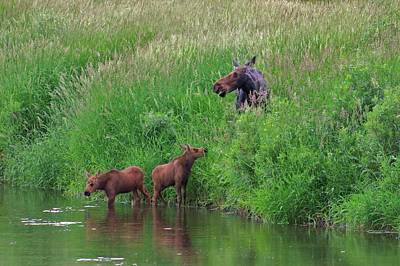 Photograph - Moose Play by Matt Helm