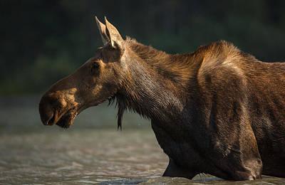 Moose Portrait // Glacier National Park  Art Print