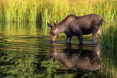 Art Print featuring the photograph Moose Reflections by Mary Hone