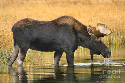 Moose In Water Photograph - Moose Ripples by Adam Jewell