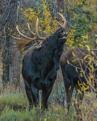 Photograph - Moose Rut Response by Yeates Photography
