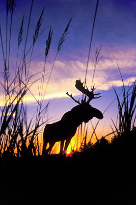 Photograph - Moose Silhouette by Sean Davey