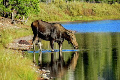 Photograph - Moose, Swiftcurrent Lake, Glacier National Park by Marilyn Burton