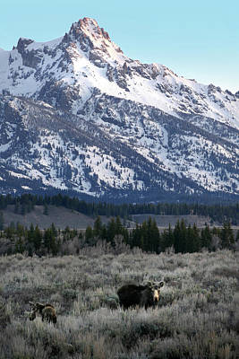 Photograph - Moose, Tetons Morn by Jeff Brunton