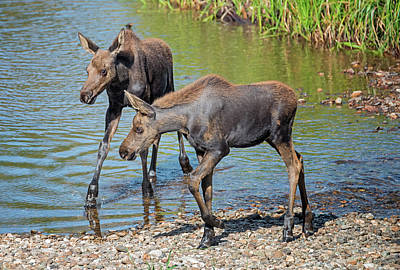Photograph - Moose Twins by Loree Johnson